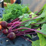 beet and carrot harvest
