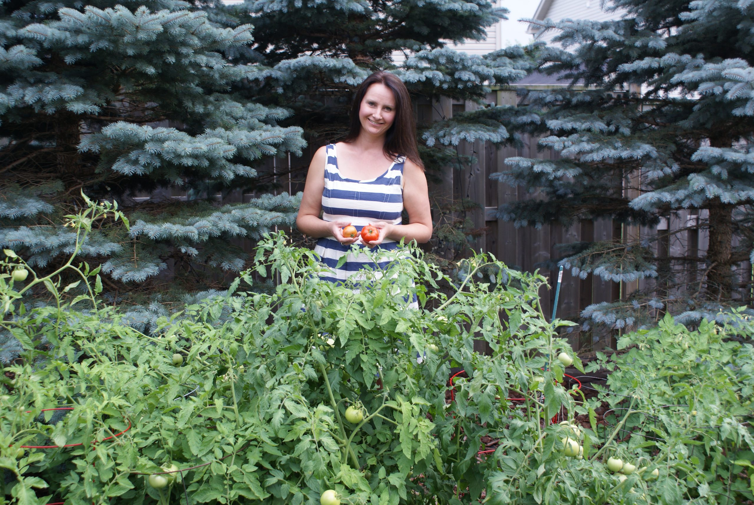 First Harvest of Tomatoes August 2014