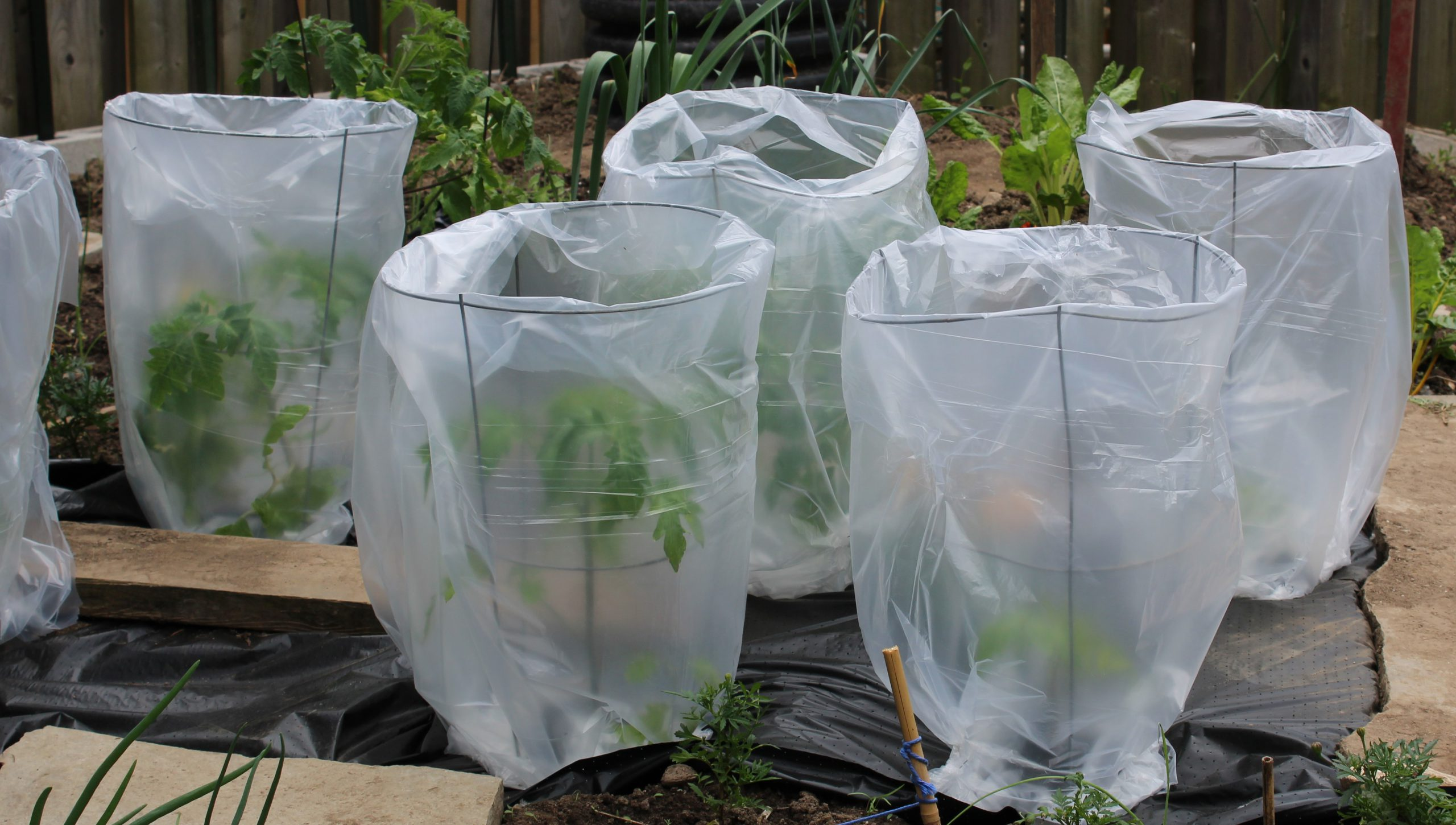 Tomato greenhouses made with tomato cages and plastic