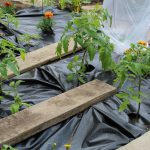 Tomato plants with black perforated plastic 2020