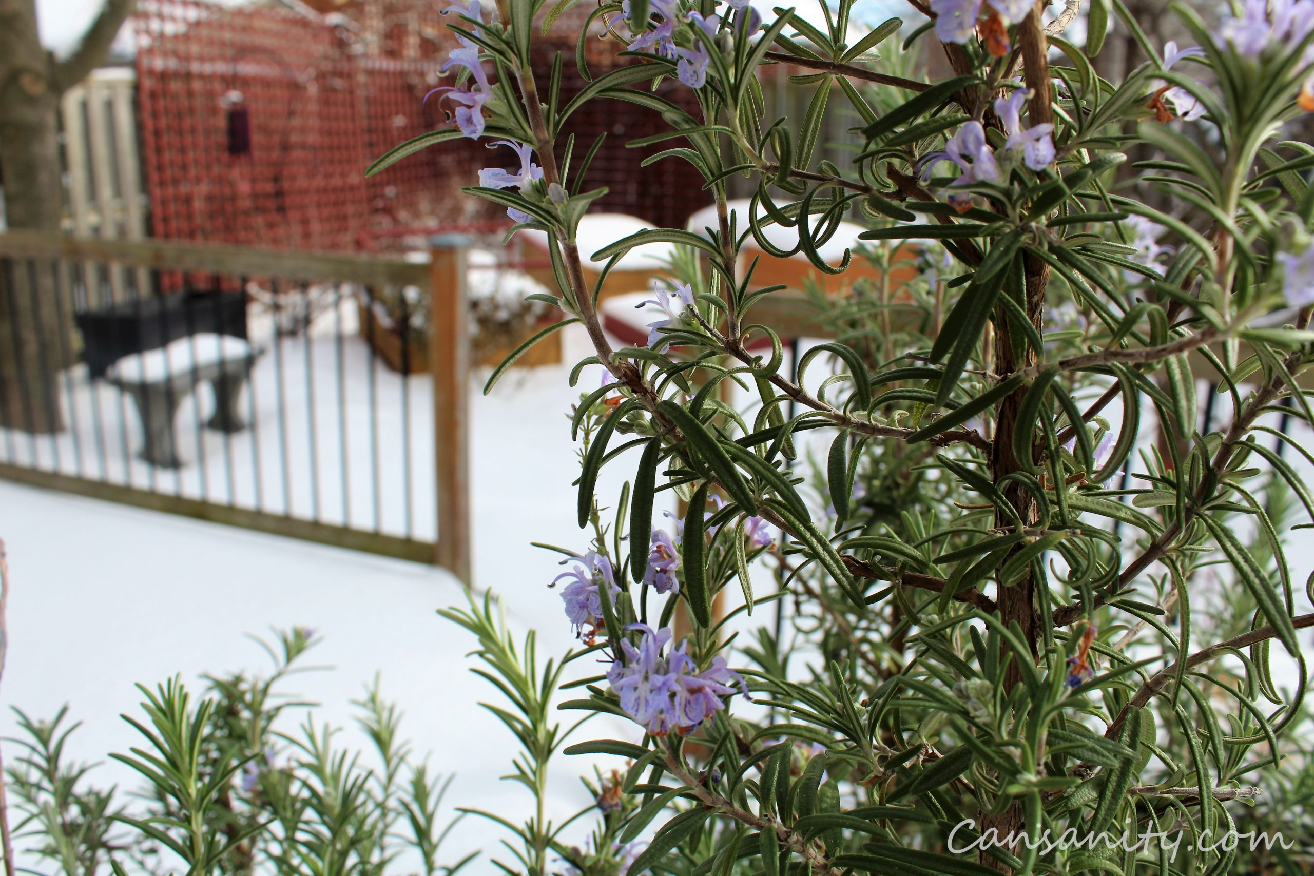 Rosemary blooming in winter 2021